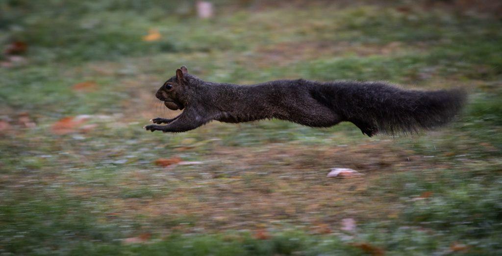 Black squirrel running with acorn
